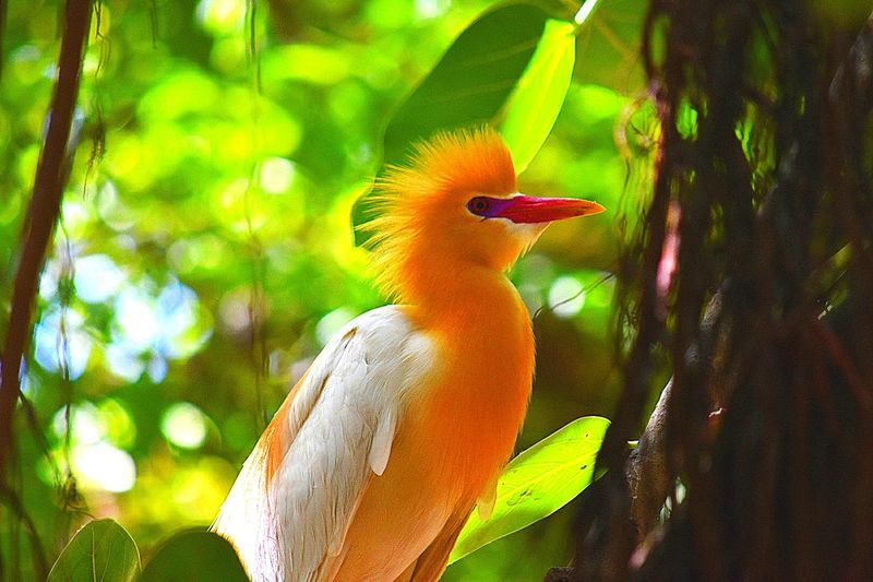The weird looking Cattle Egret shows off its beauty! Go follow me on instagram for more! @epicrut. Tropical Climate One Animal Bird Beak Portrait Nature Parrot Close-up Multi Colored Beauty In Nature Beauty Tree Closing Outdoors No People Day Cockatoo Cattleegret Cattle Egret EyeEm Selects Clicktheepic