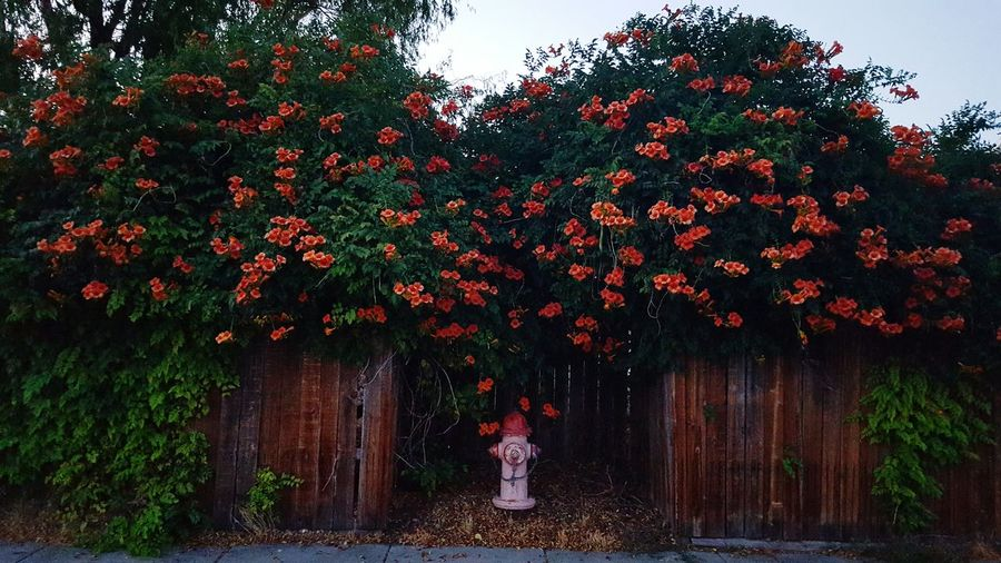 Fire Hydrant Under Plants Growing On Wooden Fence