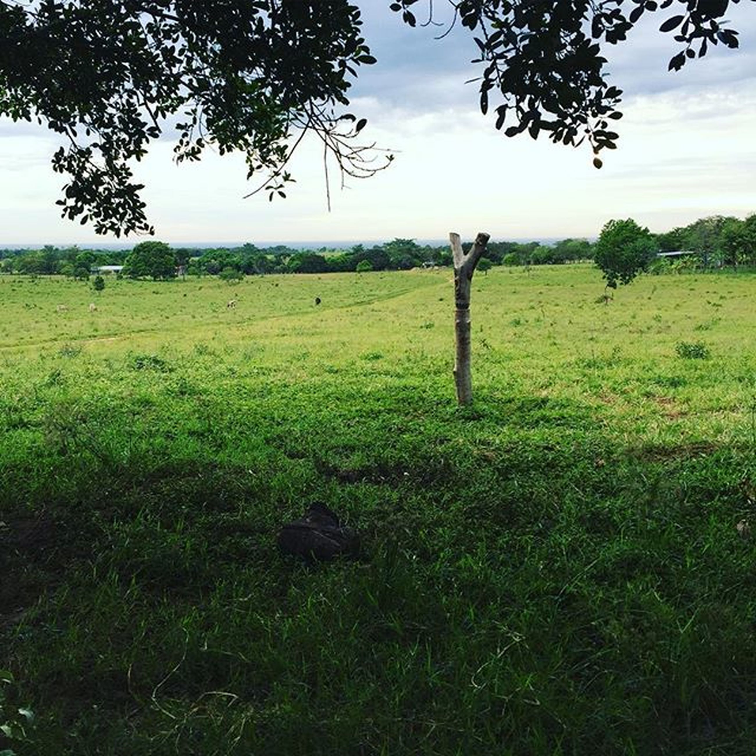 grass, field, grassy, tranquility, landscape, tranquil scene, green color, tree, sky, nature, growth, scenics, beauty in nature, fence, meadow, day, non-urban scene, idyllic, rural scene, outdoors