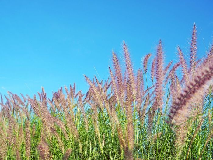 Blady grass flower on blue sky background Grass Blady Grass Cogon Grass Field Flower Clear Sky Rural Scene Blue Summer Sky Close-up Plant In Bloom Botany Petal Wildflower Blooming Blossom