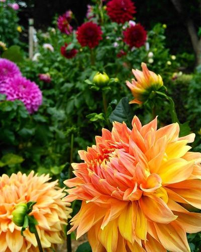 Dahlias for days! These beauties are the upside to summer - one day they'll be in my garden and I'll be able to enjoy them everyday! Fms_everyday Dahlias Myweekofslowliving