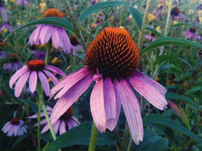 Flower Purple Plant Fragility Growth Eastern Purple Coneflower Petal Coneflower Nature Day Flower Head Beauty In Nature No People Outdoors Freshness Blooming Close-up