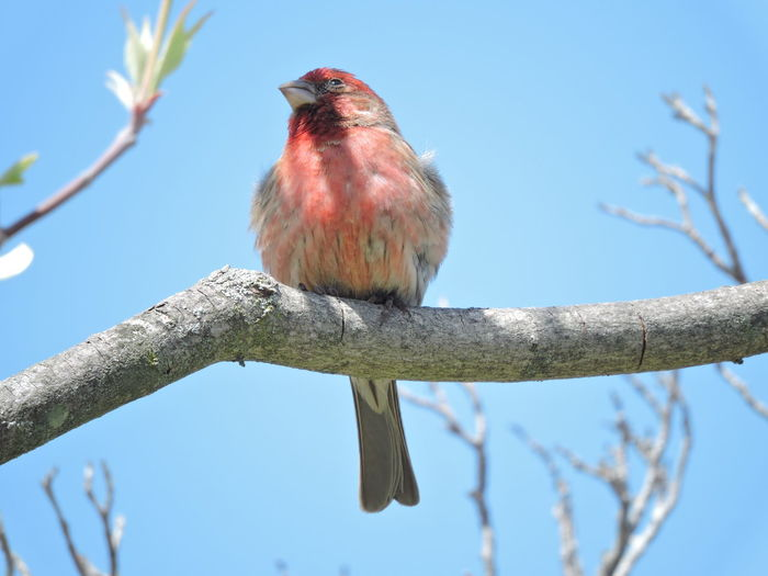 Purple Finch-male Bird Tree Animal Themes Vertebrate Animal Perching Branch One Animal Animal Wildlife Low Angle View Animals In The Wild Plant Sky Nature No People Day Clear Sky Focus On Foreground Close-up Outdoors