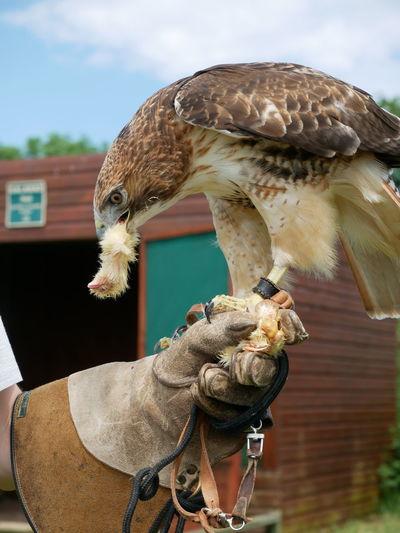 Bird Of Prey Power In Nature Claws Bird Bird Feeding Close-up
