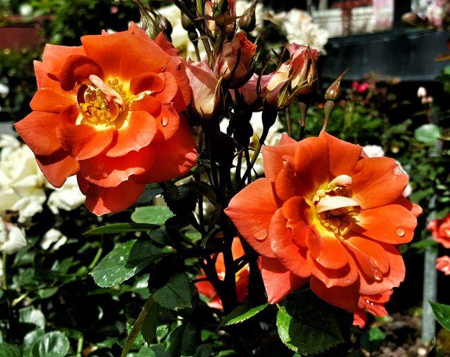 Flowers Roses Garden Taking Photos Enjoying Life Ready For Summer Walking Around 2015 11 22
