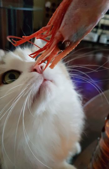 I want to eat you Face-to-face Whiskers Animal Themes Interest Cat And Shrimp Domestic Cat Pets One Animal Domestic Animals Indoors  Animal Themes Feline Close-up