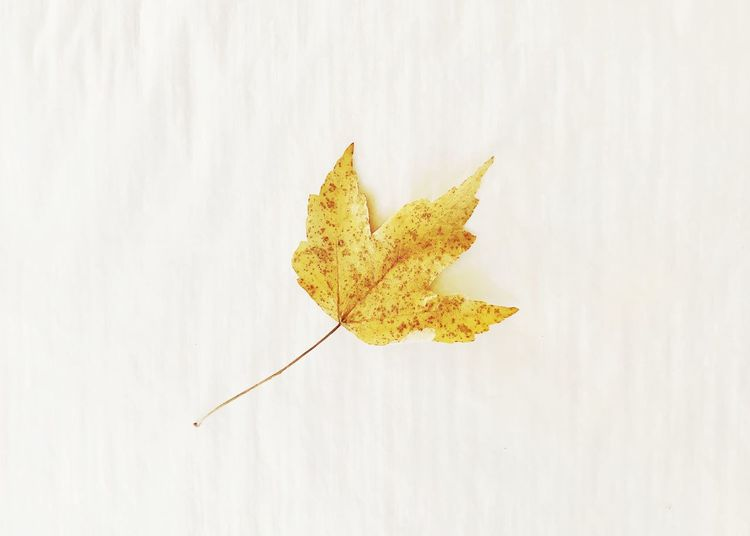 Close-up of yellow maple leaf on white background