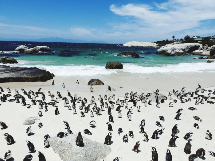 Penguin Penguin ♡ Penguin Colony PenguinLove Large Group Of Animals Sea Beach Flock Of Birds Sky Blue Animals In The Wild Horizon Over Water Water Colony Beauty In Nature Nature Sand Outdoors Bird Animal Themes Day Swimming No People
