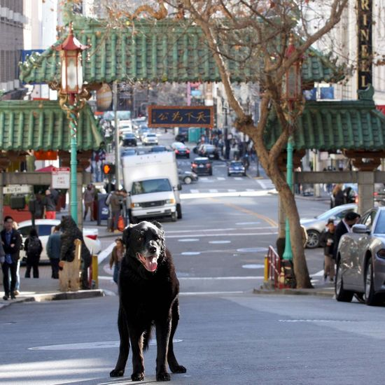 Happy Year of the Dog. 🐶 🏮 The landmark gateway arch marking the entrance to the city's iconic Chinatown neighborhood was donated by Taiwan in 1970. This gate is the only authentic Chinatown Gate in North America. Unlike similar structures which usually stand on wooden pillars, this iconic symbol conforms to Chinese gateway standards using stone from base to top and green-tiled roofs in addition to wood as basic building materials. The gate is based on the ceremonial gates that can be found in Chinese villages, calledpaifang. The gate is adorned with sculptures of fish and dragons and is flanked by two large lion statues or fou lions, which are meant to thwart evil-spirits. In China, the lion is regarded as the king of the forests and of the other animals. It has thus long been used as a symbol of power and grandeur. By the way we are inside the gates of Chinatown. Getting a picture of Doc right at the front is nearly impossible by ourselves, because of the high traffic (cars whizzing by) and loads of tourist. It is one of the photographed spots in San Francisco. Chinatown Dragons Gate Urban Dragon Year Of The Dog Street Photography San Francisco Chinese New Year Asian Culture Love EyeEm A Dog Dog Pets Street City One Animal Road Outdoors Domestic Animals