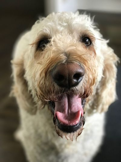 Focus On Foreground Dog Domestic Animals Mouth Open Goldendoodles Pets