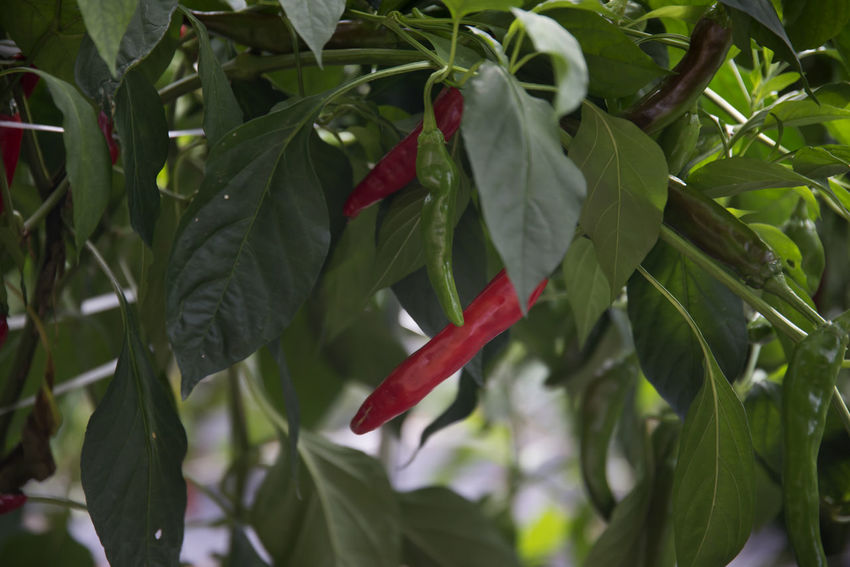 red pepper at Bulyeongsa, a famous Buddhism temple in Uljin, Gyeongbuk, South Korea Red Pepper Beauty In Nature Close-up Crop  Day Flower Flower Head Food Food And Drink Freshness Green Color Growth Leaf Nature No People Outdoors Pepper Plant Red Red Peppers Rural Scene Tree
