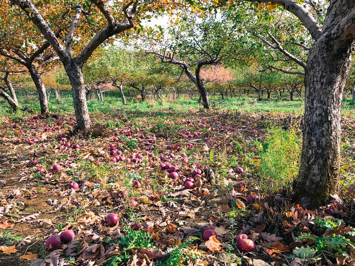 Apple picking in the Catskills, New York, USA. Photo by Tom Bland. Agriculture Apple Picking Apple Tree Apple Trees  Apples Autumn Autumnal Beauty In Nature Fall Growth IPhone IPhoneography Nature New York Orchard Orchards Outdoors Rural Seasonal Seasonal Fruit Tree