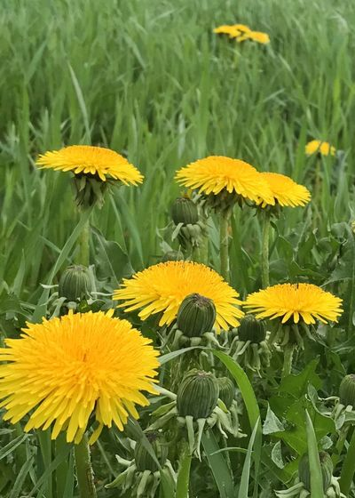 Dandelion flowers. Dandelion Flower Freshness Yellow Growth Flower Head Vertical Nature Day Field Outdoors No People Close-up