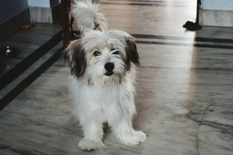 Dogs Pets Lhasa Apso Pets Corner Puppy Love Puppy Face Pet Portraits