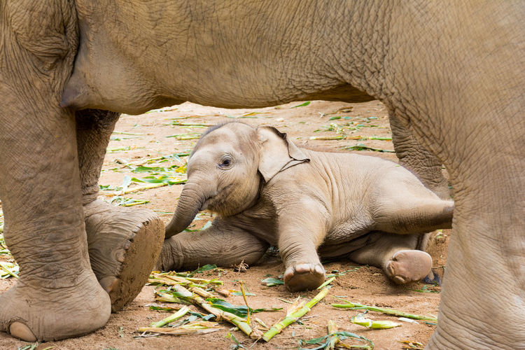 Elephant in protected nature park near Chiang Mai, Thailand Animal Themes Baby Baby Animal Chiang Mai Cute Day Elephant Elephant Nature Park Funny Herbivorous Mammal Mother And Baby Mother And Child One Animal Outdoors Relaxation Thailand Wild Wildlife Young Young Animal