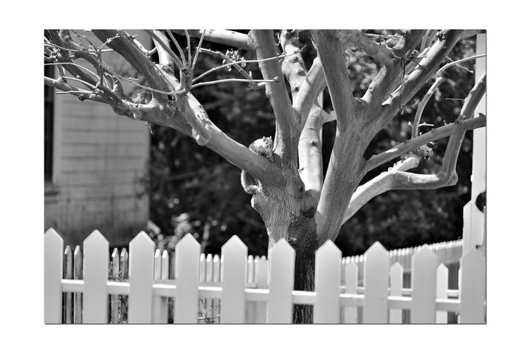 Early Spring At Meek's Garden Estate Gardens Meek Mansion Early Spring Squirrel Bare Tree Picket Fence Bnw_friday_eyeemchallenge Bnw_springtime No Leaves Tree Squirrel In Tree monochrome photography Monochrome Nature Beauty In Nature Nature_collection Black & White Black & White Photography Black And White Black And White Collection  Buds On Branches Side Of A House Spring Awakens Tree Branches Landscape Landscape_Collection Landscape_photography Architecture