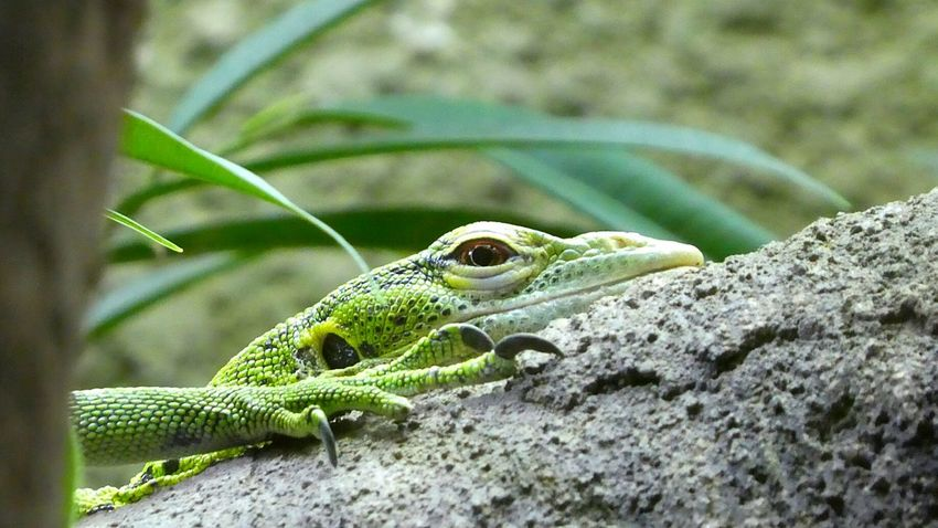 A member of the Green Party.....the lounge lizard... One Animal Animal Wildlife Green Color Reptile Lizard No People Nature Close-up Outdoors Day Conservation Park Chester Zoo Nature Animals In Captivity Zoo Claw Green Colour Animal Themes Beady Eye