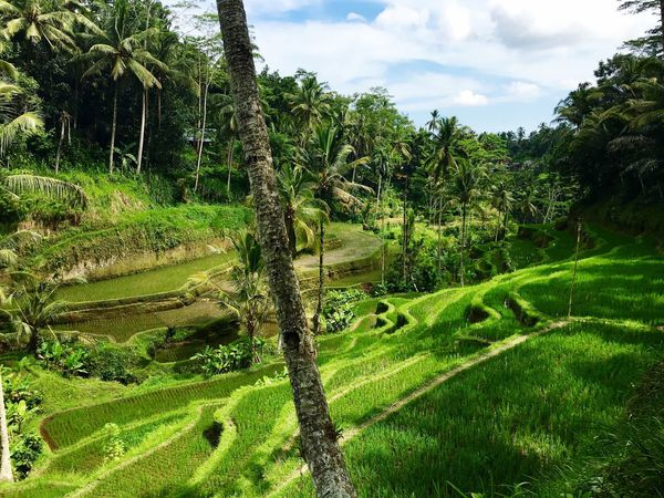 Ricefields Tegalalang Green Palm Trees Color Palette Neighborhood Map Bali, Indonesia Been There. An Eye For Travel