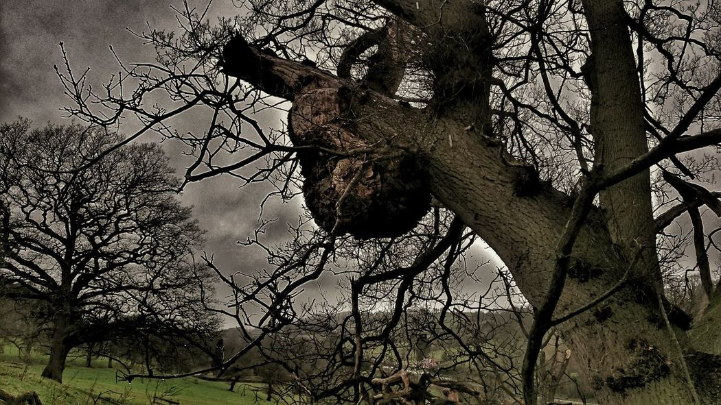 Oak Tree Tumor Growth Oak Tree Tumor Old Tree Old Oak Tree Old But Awesome Branches Branches And Sky Dark Photography