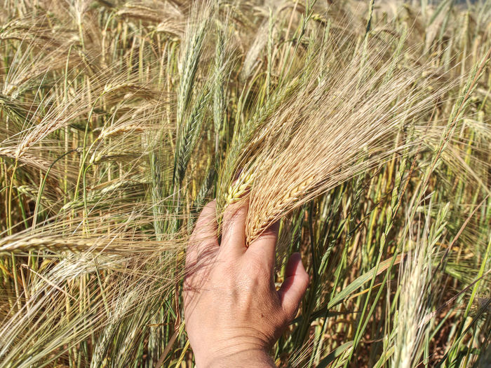 Spikelets of yellow green barley in the hands in the summer in the field