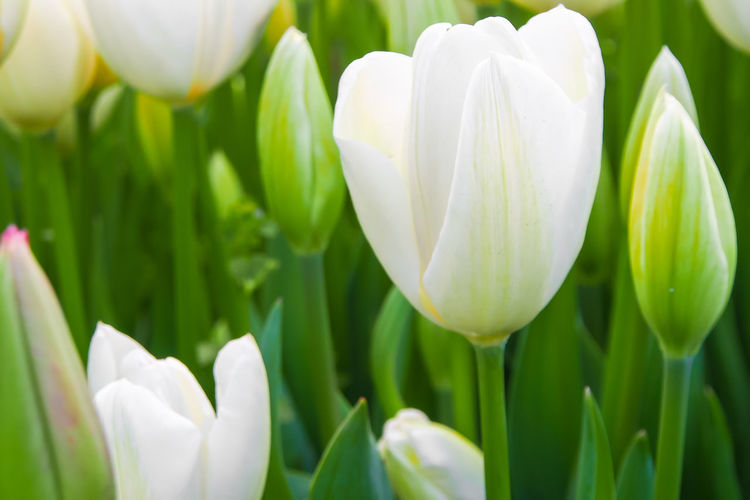 Beauty In Nature Blooming Close-up Flower Head Flowers Focus On Foreground Freshness Nature Petal Plant Tulips White Color White Flowers White Tulips