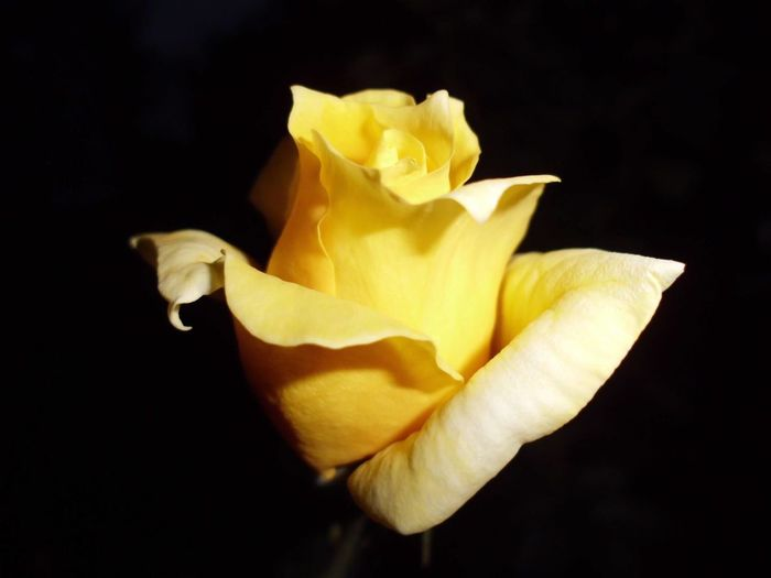 Golden Rose Amazing Nature Awesome Nature Beauty Is Fleeting, The Soul Don't Die. Beauty Nature Black Background Close-up Flower Flower Head Flower In Night. Fragility Freshness Golden Flower Golden Rose Mother Nature Mother Nature Gift Mother Nature Is Amazing Nature Nature Is Beauty Of Soul. Night No People Petal Shine In The Darkness. Studio Shot Yellow Yellow Rose