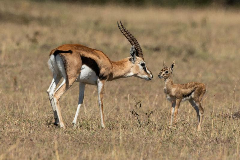 Gazelles on field