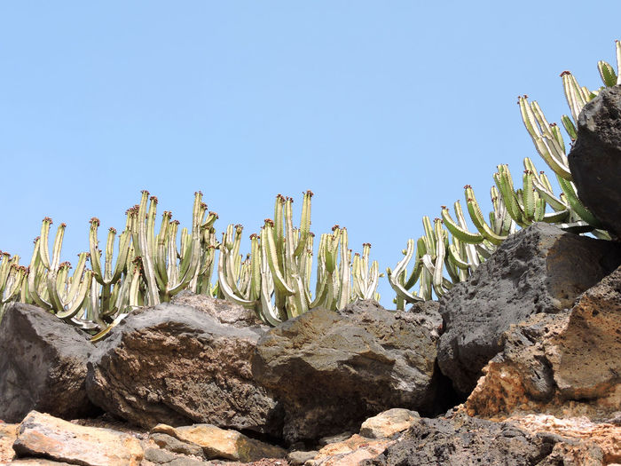 Cactus Growing On Rock Against Clear Blue Sky