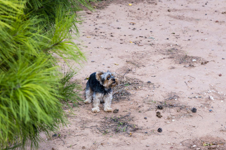 Tiny Yorkshire Terrier type dog defending its territory with irate expression, Moab, Utah, USA Yorkshire Terrier Defending Territory Irate Evil Eye High Angle View Canine Dog Pets One Animal Outdoors Small Tiny Angry Territorial Expression Moab  Arid Climate Pink Color Sandy Foliage Hairy