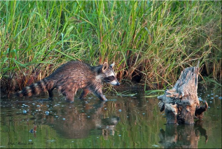 Racoon Racoon Eyes Wildlife Water Nature Outdoors Marsh Zoology Taking Photos Animals In The Wild Beauty In Nature Racoon