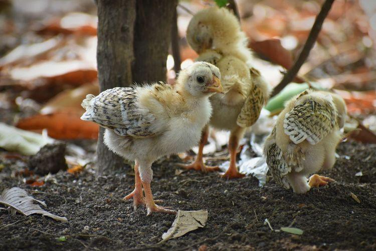 baby chick Chick Babychickens BabyChicks Babybird Bird Young Animal Close-up Animal Crest Chicken - Bird Poultry Bird Nest Baby Chicken