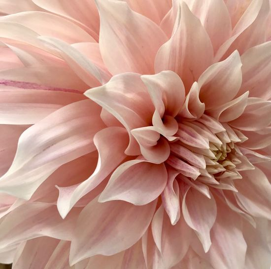 Pink Beauty Naturelovers Garden Flower Collection EyeEm Nature Lover StephieRockwell Beauty In Nature Flower Full Frame Plant Flowering Plant Backgrounds Pink Color Day Dahlia Freshness Close-up Growth Petal No People Flower Head Fragility Nature Vulnerability