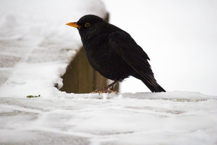 Close-up of blackbird perching on snow covered railing