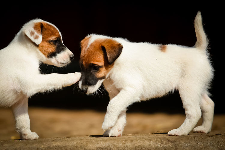 Cute Pets Cute Puppies Animal Animal Themes Canine Dog Domestic Domestic Animals Fox Terrier  Foxterrier  Group Of Animals Mammal No People Pets Playing Playing Dogs Puppies Puppies At Play Puppy Terrier Togetherness Two Animals Two Puppies Vertebrate Young Animal