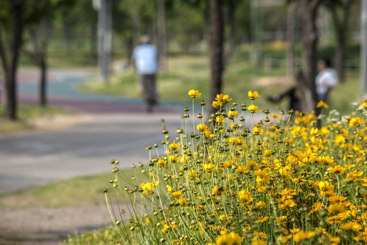 Close-up of yellow flowers blooming in park