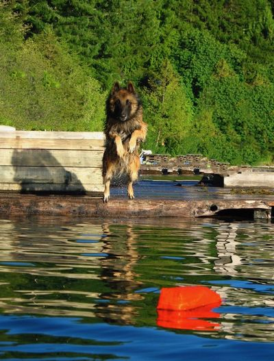 Belgian Sheepdog Belgian Tervueren Dog And Water Dog Lover Dog Toy Athletic Dogs Belgian Shepherd Belgian Terv Dog Dog Athleter Dog Diving Dog Jump Water Dog❤ Domestic Animals No People One Animal Pets Water