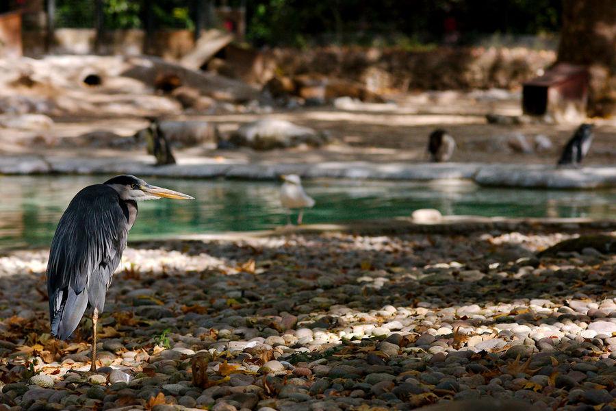 Not A Penguin Animal Animal Themes Bird Gray Heron Heron London Zoo Perching Vertebrate Water Water Bird