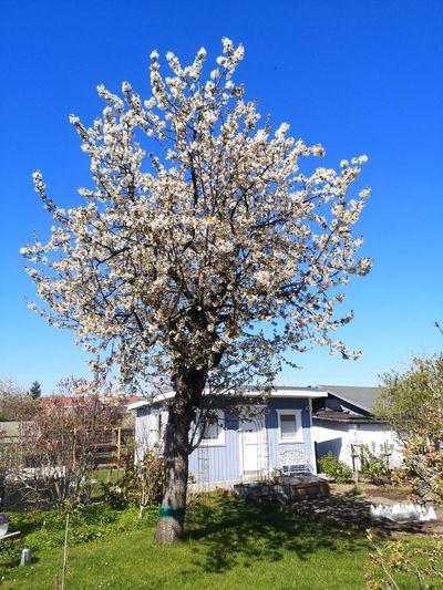 Cherry blossom tree by building against blue sky