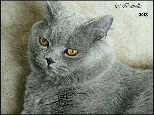 кот Cat Леопольд лева британец голубой страйт EyeEmRussianTeam