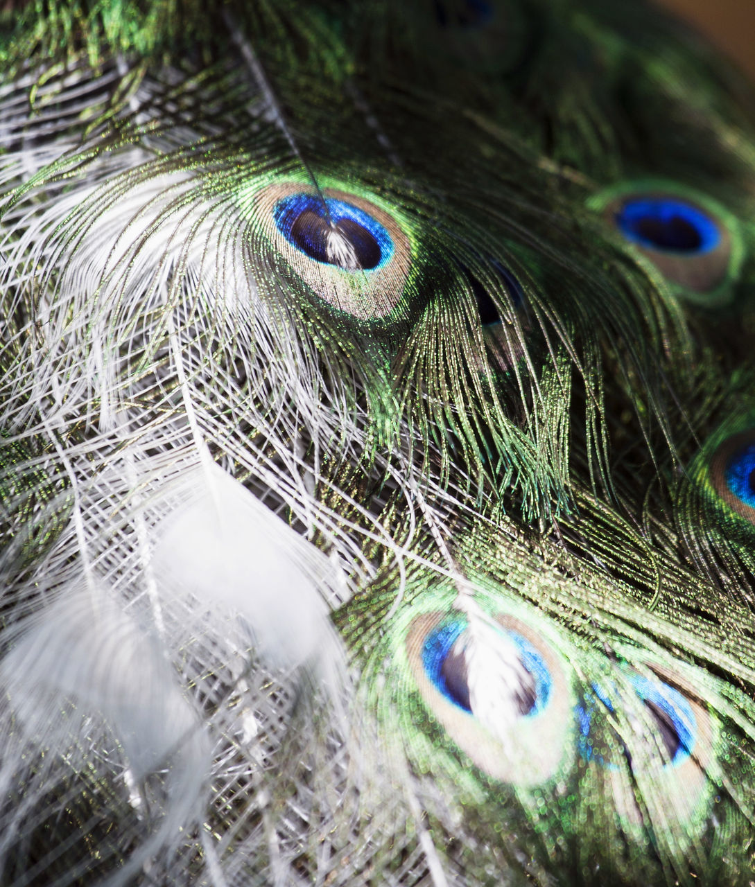 peacock, peacock feather, feather, close-up, one animal, animal themes, no people, bird, fragility, day, blue, fanned out, outdoors, nature, eyeball