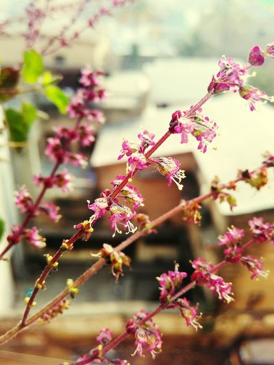 Plant Tulsi Flowers Nature Beauty Focus Holy Plants