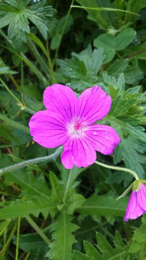 Sammer Flower Macro Green Nature Pink Pink Flower