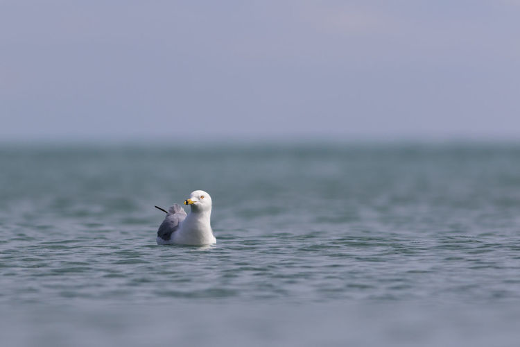 Seagull swimming in sea against sky