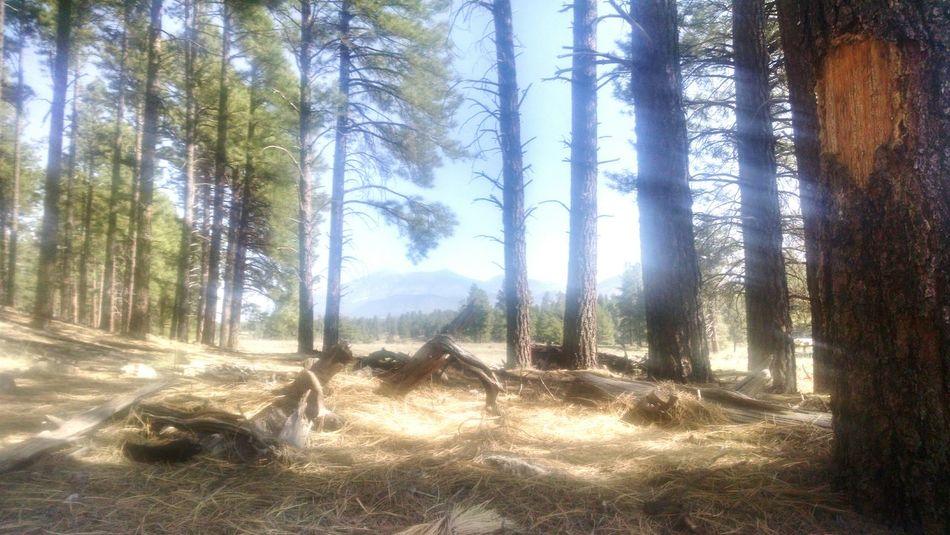 San Francisco Peaks Arizona Pine Trees