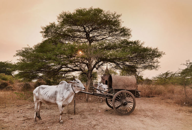 Bulls with cart standing in village during sunset