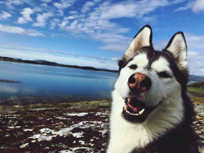 Siberian Husky at norwegian shore Siberian Husky Norway IPhone Photography One Animal Domestic Animals Animal Mammal Dog Canine Pets Animal Themes