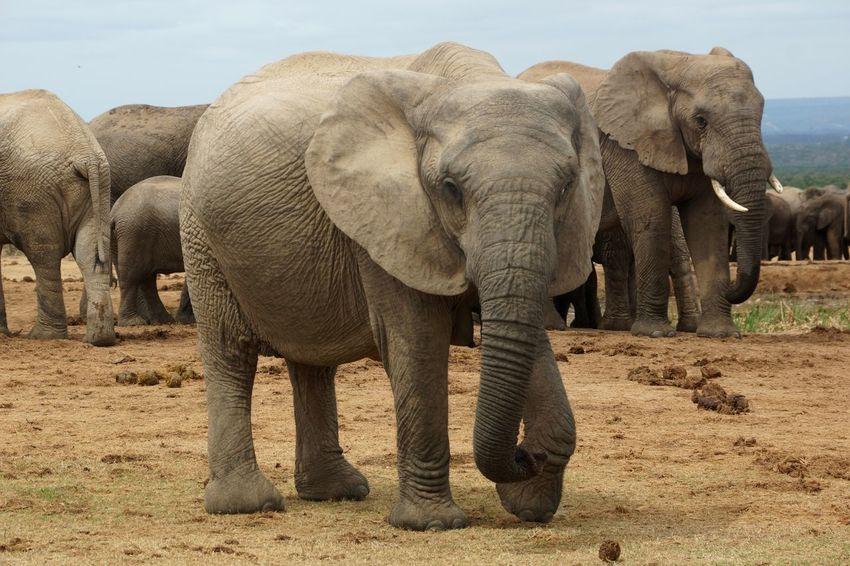 Nature Photography Elephant Addoelephantpark Gorgeous Animals South Africa