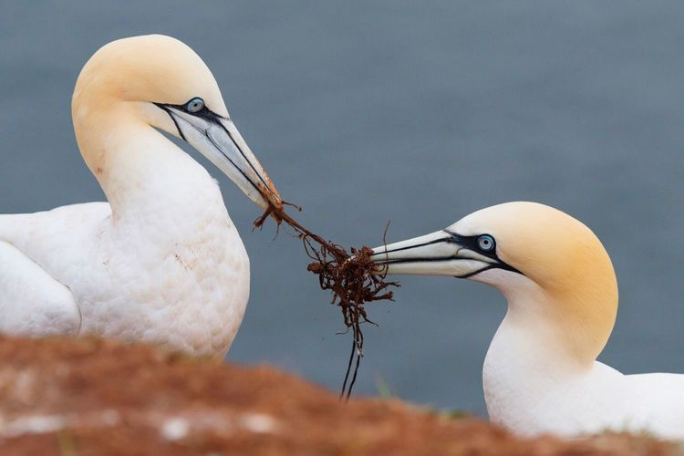 Close-up of gannets making nest against sea