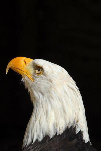 Close-up of bald eagle against black background