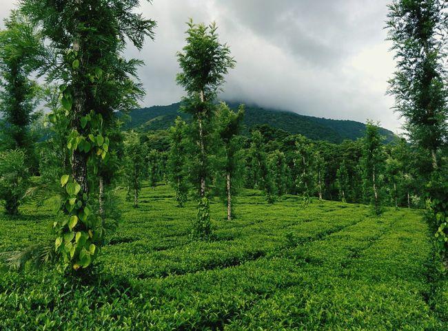 Kerala Nature Teaestate Greenery Green Rain Morning Naturelovers Green Green Green!  Travel Photography Protecting Where We Play Nexus5 Nature_collection Nature Photography Naturephotography